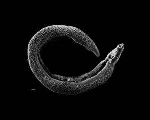 Schistosoma or blood fluke. Photo by David Williams (via Wikimedia Commons)