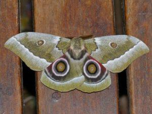 African Emperor Moth (Gonimbrasia zambesina) by Bernard Dupont (CC BY-SA 2.0, via Wikimedia Commons)