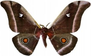 Cabbage Tree Emperor Moth (Bunaea alcinoe) By Lsadonkey – (CC BY-SA 4.0, via Wikipedia Commons)