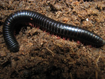 The Impact of Thin Black Worms on Plants