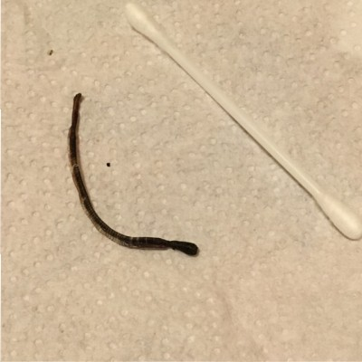 Dead Worms on Windowsill Are Likely Black Worms (aka Mudworms)