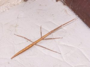 French Stick Insect (Clonopsis gallica) - by William Scot (CC BY-SA 2.5, via Wikimedia Commons)