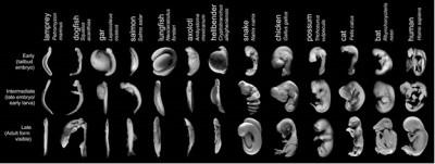 embryonic table photos Richardson et al