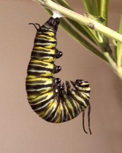 Monarch Caterpillar (Danaus plexippus) fifth instar by Sid Mosdell