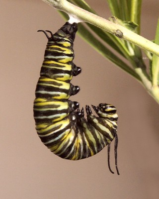 How is a Cocoon Different From a Rock? (The Lifecycle of a Butterfly)