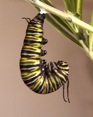 Caterpillar Symbolism and Mythology