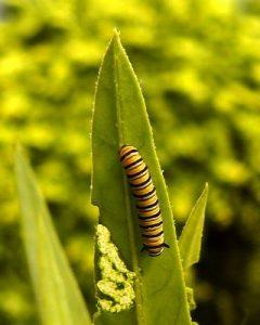 Monarch Caterpillar (Danaus plexippus) second instar by Sid Mosdell