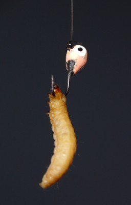 Waxworms Need to be Happy, but Not Too Happy