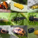 How a Caterpillar or Larvae becomes a Butterfly, Beetle, or Other Adult