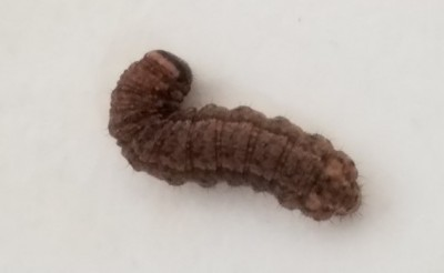 Larvae in Laundry Room Remain Unidentified