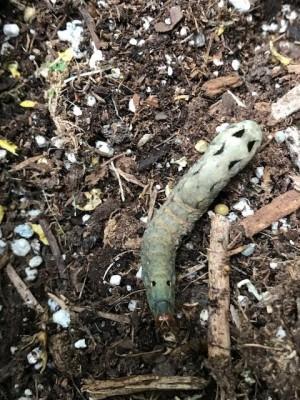 Green Organism Identified as a Caterpillar