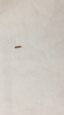 """Worm"" On Kid's Bed is Carpet Beetle Larvae"