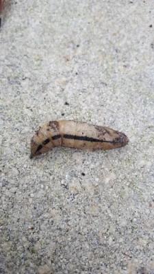 Creature Found in Pentas is a Caterpillar