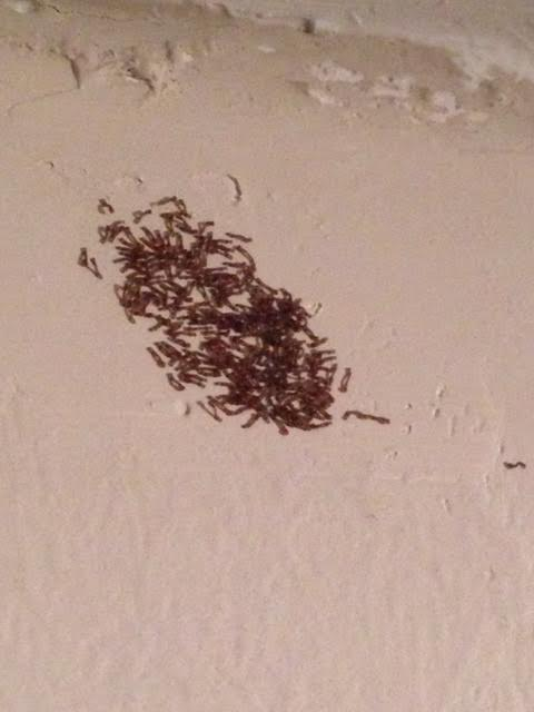 Group of Inchworms on Wall