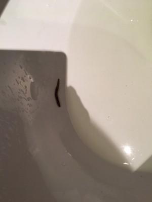 Reader Finds Dark Grey Worm in Toilet