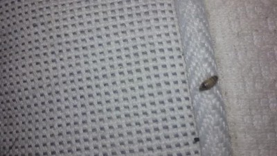 Worm in Bed is Carpet Beetle Larva