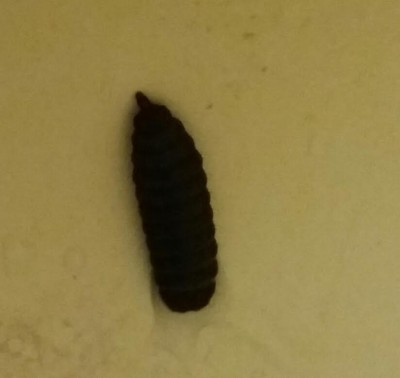 Worm in Question is Black Soldier Fly Larva