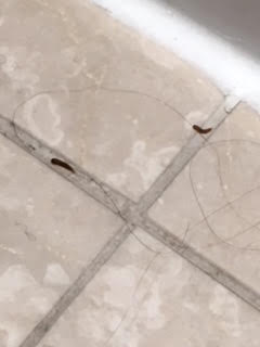 Worms in Bathroom are Carpet Beetle Larvae