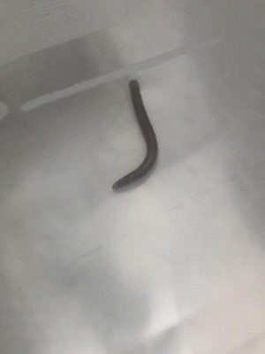 Brown Worm with Antennae is Millipede