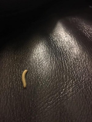 Could Worms Found on Leather Couch be Mealworms?