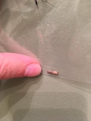 Could Bugs in Bed be Carpet Beetle Larvae?