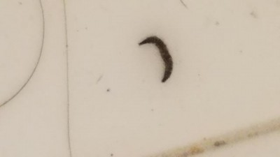 Little Black Live Worms in Shower are Drain Fly Larvae