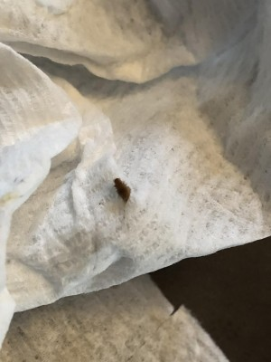 Is Reader Dealing With Bed Bugs or Carpet Beetle Larvae?