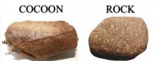 cocoon versus rock