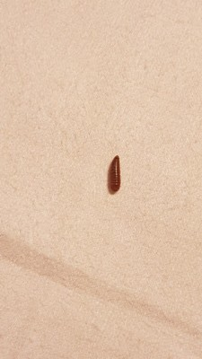 Could Worm in Bed Be Carpet Beetle Larvae?