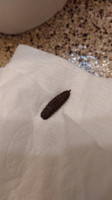 Are Black Soldier Fly Larvae Dangerous?