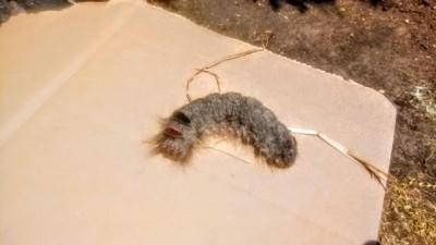 Gray Worm in Garden Is Lasiocampidae Caterpillar