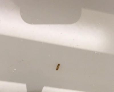 "Worms That Leave ""Skins"" Behind Are Carpet Beetle Larvae"