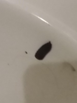 Black Worms in Toilet Camper are Black Soldier Fly Larvae (BSFL)