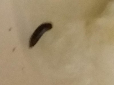 Black Worm Might Be Black Soldier Fly Larva