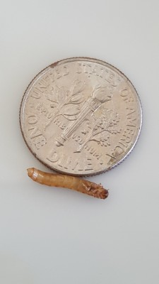 Reader Finds Mealworm And Palm Flower Moth Larva