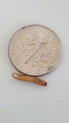Reader Finds Mealworm And Palm Flower Moth Larva
