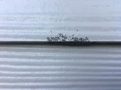 Cluster of Worms On Side of House are Moth Larvae