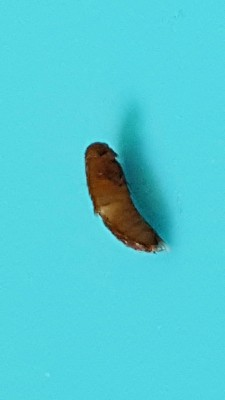 Bugs Found While Removing Sheets Are Likely Carpet Beetle Larvae