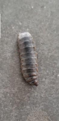 Getting Rid of Black Soldier Fly Larvae