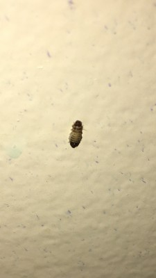 Worms On Wall Are Carpet Beetle Larvae