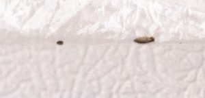 Worms on Bed Frame Are Carpet Beetle Larvae - All About Worms