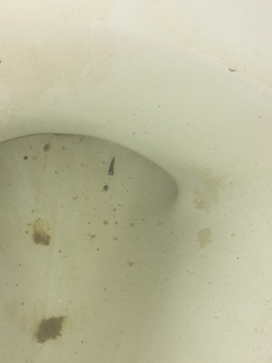Slithering Black Worms in Toilet Probably Drain Fly Larvae