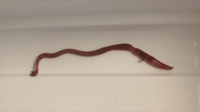 Earthworm In Toilet From Pipes Not Humans