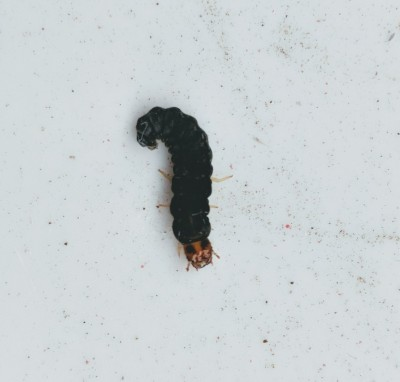 Soldier Beetle Larvae Found All Over Porch