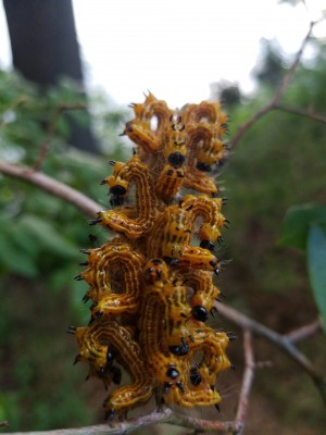 Clumped Up Worms Could Be Yellownecked Caterpillars