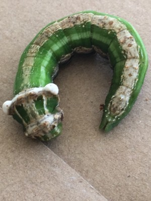 What Species is Green Caterpillar?