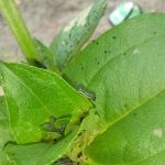 Southern Armyworm Caterpillars Munch on Zinnia Plant