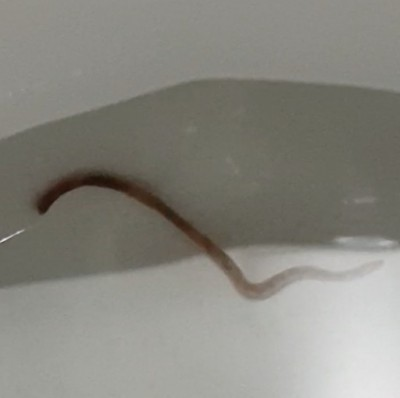 earthworm in toilet