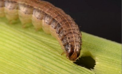 About the Fall Armyworm (or Fall Army Worm) and Beet Armyworm (Beet Army Worm) Infestation