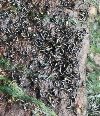 Small Black Worms Take Over Koi Pond